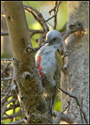 Grey Woodpecker