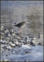 Icelandic Common Redshank