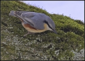 Wood Nuthatch