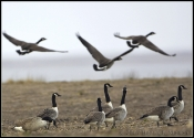 Greater Canada Goose