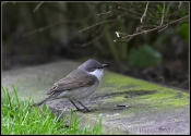 Lesser Whitethroat