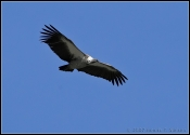 White-baced Vulture